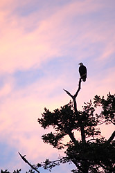 An eagle perches on Cabbage Island, Gulf Islands, British Columbia