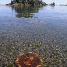 Lion's Mane Jellyfish (Cyanea capillata) in Princess Bay, Portland Island, British Columbia, Canada