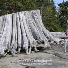 Giant tree stump washed up on shore, Portland Island, British Columbia, Canada