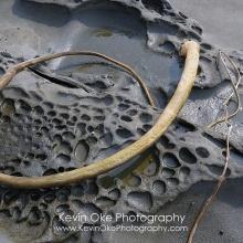 Dried kelp on weathered sandstone, Portland Island, British Columbia, Canada