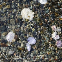 Detail image of rocks and shells on the beach, Tent Island, Gulf Islands, British Columbia, Canada