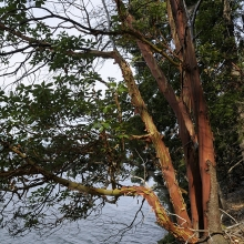 Arbutus tree and dried grass, Wallace Island, Gulf Islands, British Columbia, Canada
